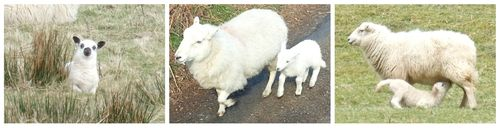Lambs_Elan_Valley_Wales