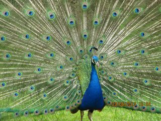 Dad's peacock - small image