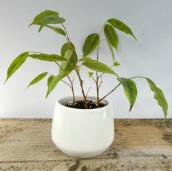 Plant in White Pot - small image