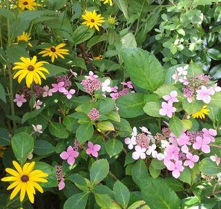 Garden photo rudbeckia and lace cap hydrangea - small image