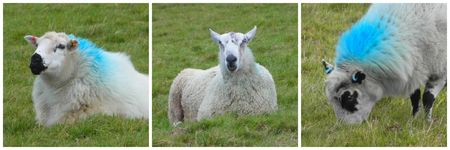 Bude_Sheep
